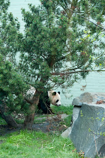 Sunshine panda at Edinburgh Zoo Scotland