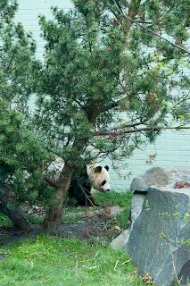 Sunshine panda at Edinburgh Zoo Scotland