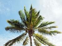Contoh Report Teks Pohon Kelapa