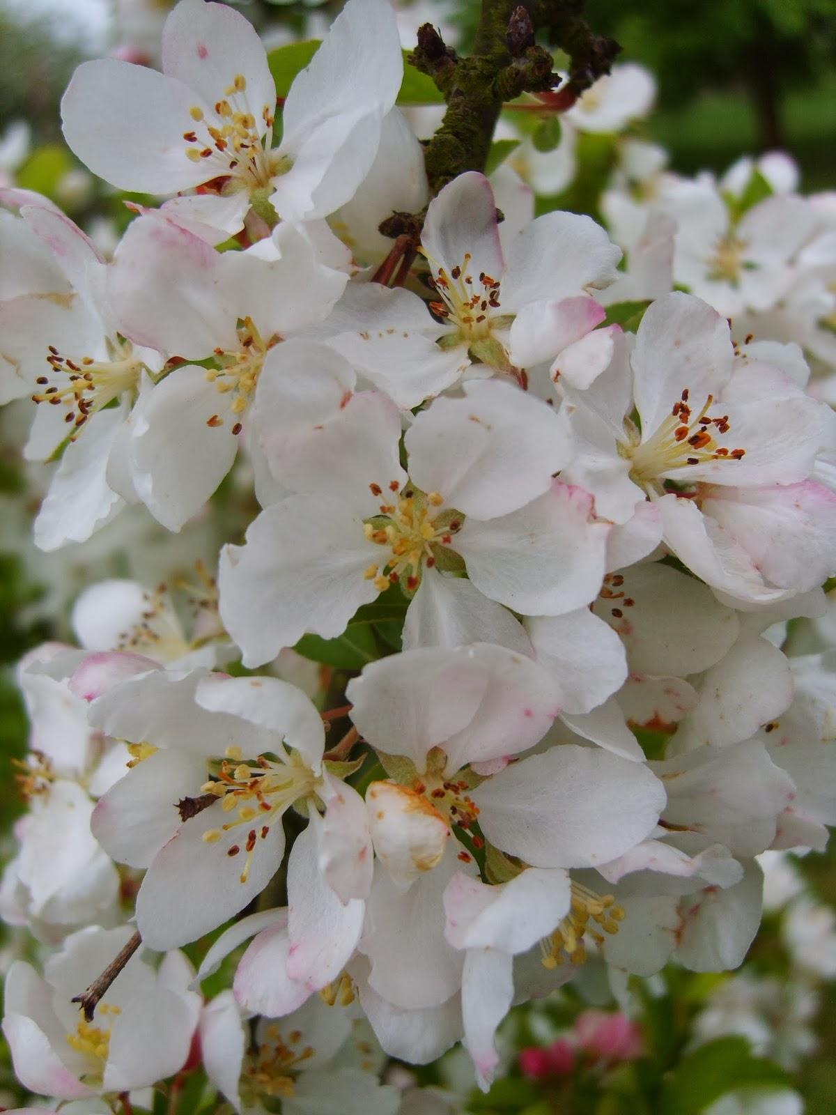 Stunning Apple Malus 'Adirondack' Blossoms at RHS Wisley Gardens. Mercurelli's Garden Design