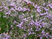 Fleurs des Marais