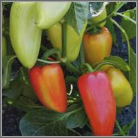 Сладкий перец сорт «Зухра»