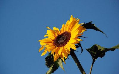 Beautiful Sunflower Widescreen Wallpaper 10