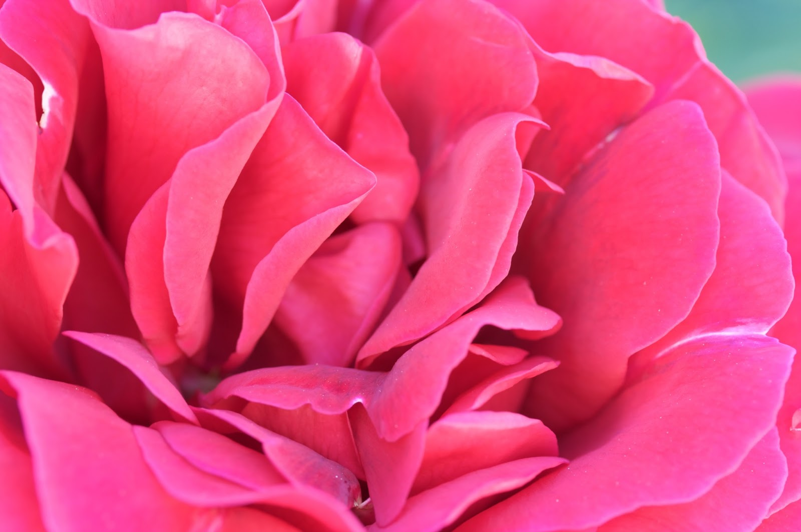 http://1.bp.blogspot.com/-PygvZtyFHLM/UR0gV3Nl3hI/AAAAAAAACAQ/oW8lfSbS7rk/s1600/Rosa_Pink_Rose.jpeg