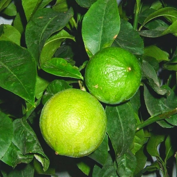 Benefits Of Bergamot Orange For Health
