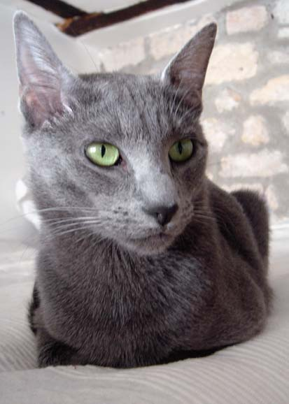 photos of Maltese cat
