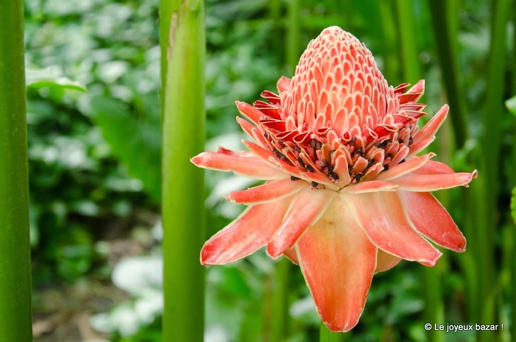 Guadeloupe  -Deshaies - jardin botanique - rose de porcelaine