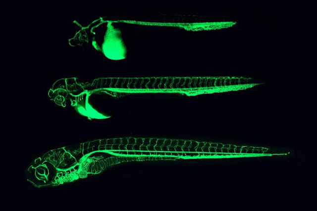 Cryptococcus Meningitis Infect Transparent Zebrafish