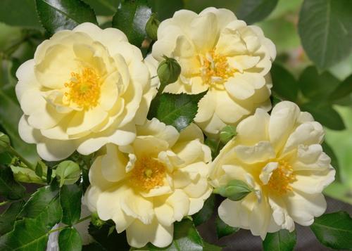 Sunny Rose сорт розы фото