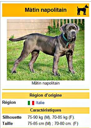 matin napolitain chien de garde