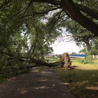 myrskyn kaatama puu