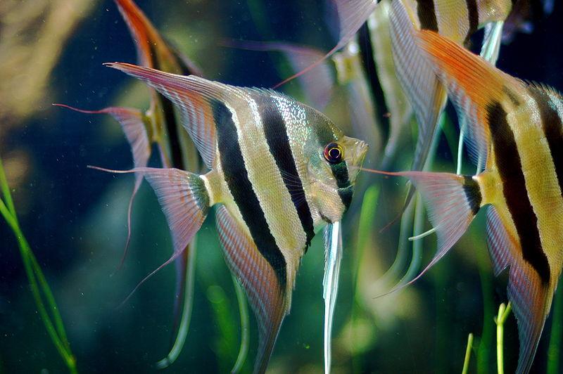 Fish Pictures: Angelfish - Pterophyllum scalare