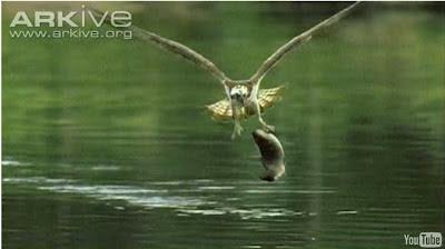 explore.org - Rovfågel fiskar