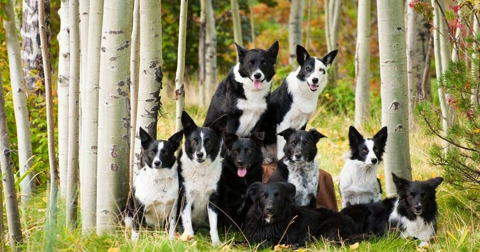 G And H Border Collies BORDER COLLIE - CANIL ...