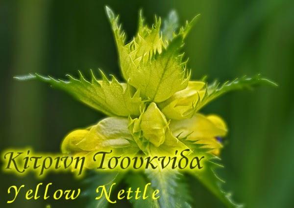 Κίτρινη Τσουκνίδα (Yellow Nettle)