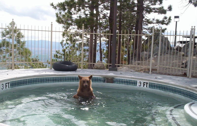 cinnamon bear in the pool