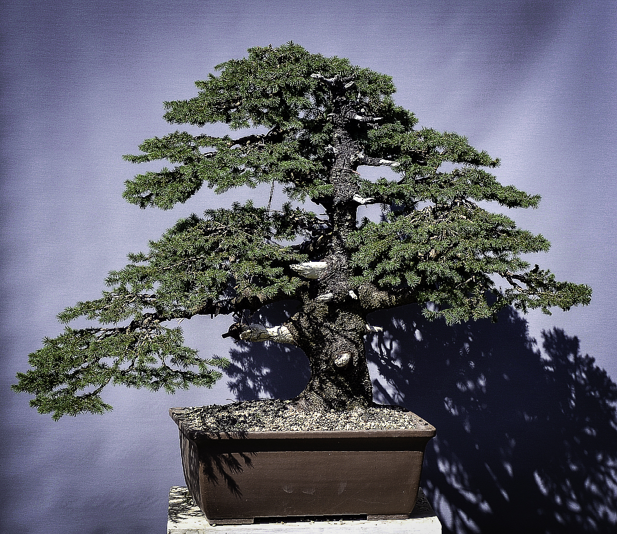 Bonsai Living Art Giant Spruce