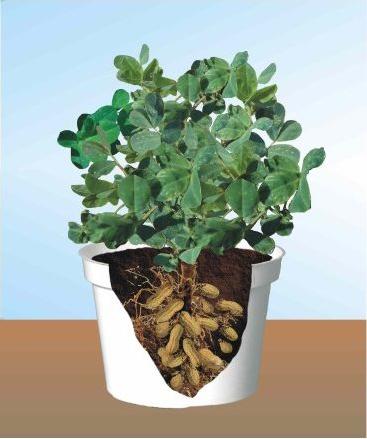 HOW TO GROW PEANUTS The Garden of Eaden