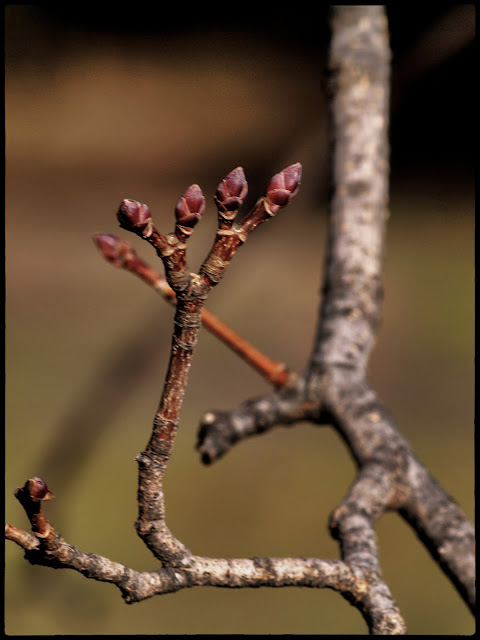 Photo of Kwanzan Cherry Tree Buds in February in Central Park