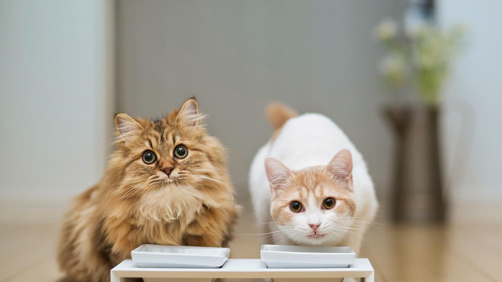 Kedilerde çikolata zehirlenmesi