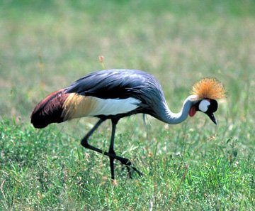 African crowned crane - photo#21