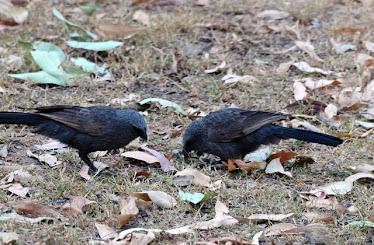 Apostle Birds