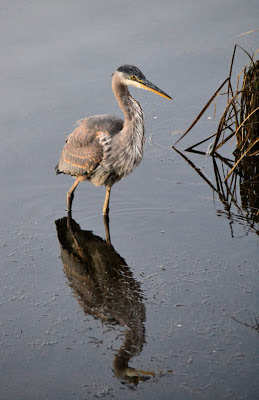 photo of Blue Heron on the Nehalem River, Oregon