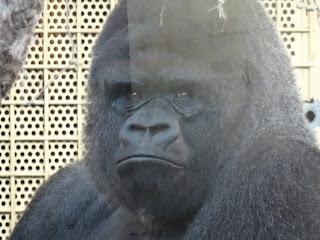 Lomo Plateado de los Gorilas de Cabarceno