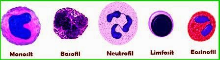Fungsi dan Ciri-Ciri dari Jenis-Jenis Sel Darah Putih (Leukosit)