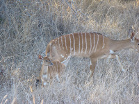 Female nyala and offspring
