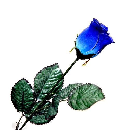blue+rose.jpg