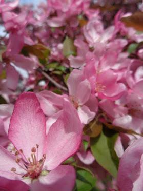 springtime blossoms ...