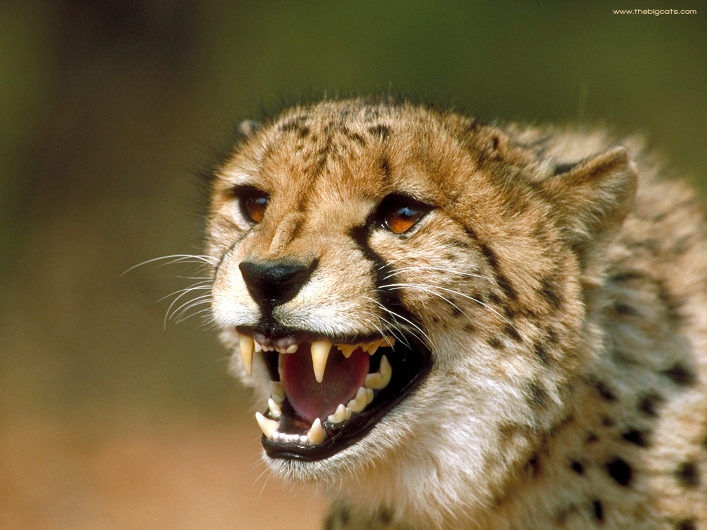 Cheetah Roaring Images - Reverse Search