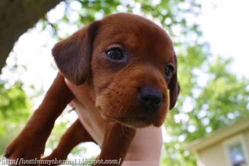 Red puppy..