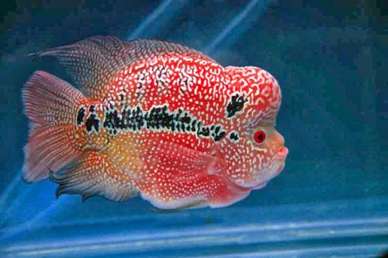 ikan louhan super