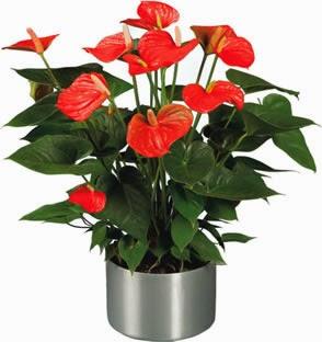Antoryum çiçeği Bakımı Hobi Bahçesi