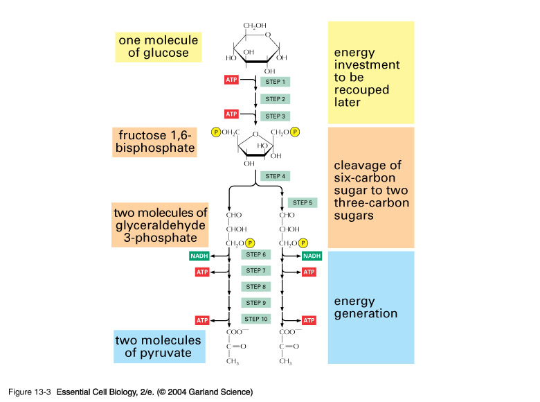 Bio Geo Nerd: Metabolic pathways