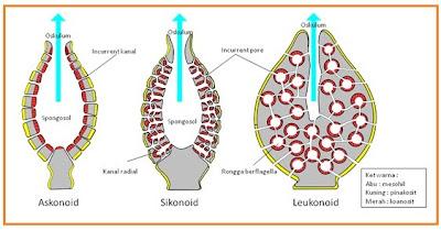 ascon%2Bsycon%2Band%2Bleucon Animalia Porifera – Coelenterata