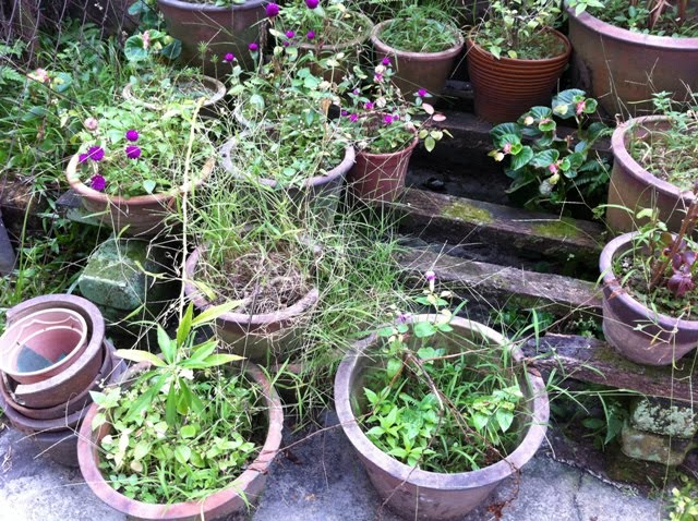 i pulled out this particular long weeds from a pot and the whole clump of it came out grass plant choked dried and overwhelmed soil dried out ball of - My Pet Garden