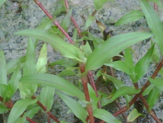 Murdannia sp. red