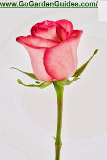 Pink Rose Flower Photograph Illustration Image
