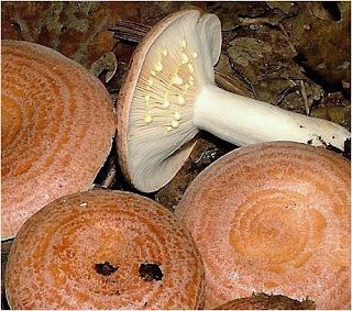 Lactarius chrysorrheus, lleterola groga