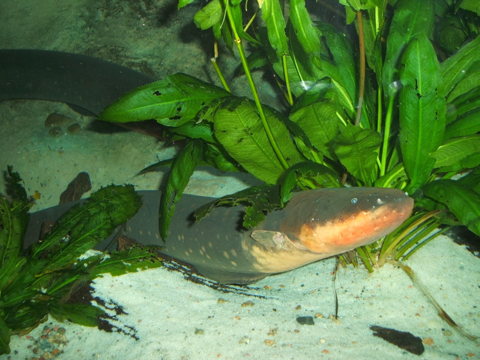Electric Eel Fish