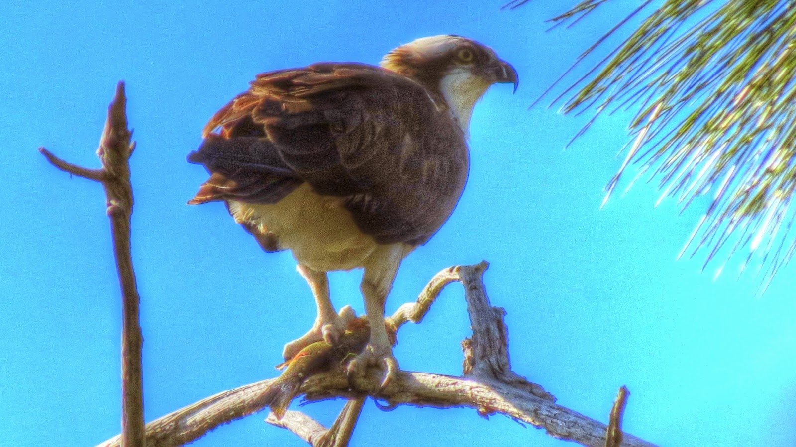 Osprey fish hawk fish eagle in Florida