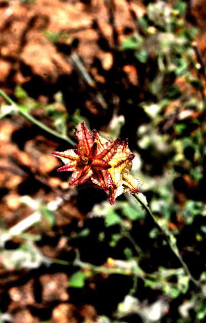 Red flower in Namibia