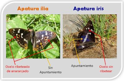 Apatura ilia y Apatura iris, anverso alar
