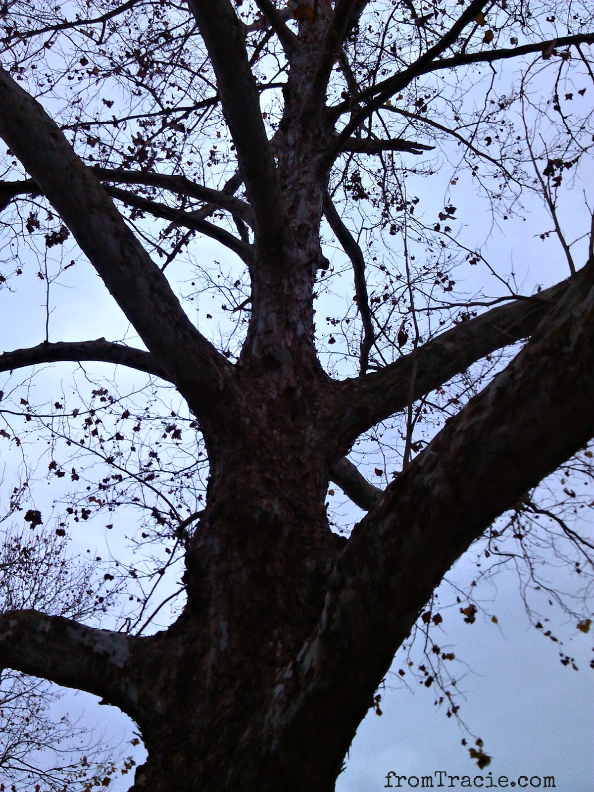 Sycamore Tree At Dusk