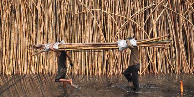 Information and rattan products: Rattan farmers lose money on phoenix sylvestris, nungu fruit, areca catechu, bactris gasipaes,