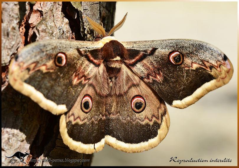 1000 pattes wildlife gateway le grand paon de nuit - Invasion papillon de nuit ...