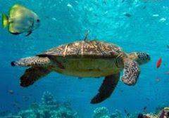 Visitindonesia; Penyu Beach, A Protected Surface Area For Dark-Green Turtles Inward Bali